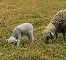 Lamb and Ewe by rhamm