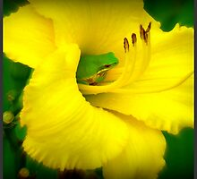 Yellow Daylily with Green Tree Frog by stuartrocks