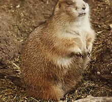 Marmot Catching Forty Winks by AnnDixon