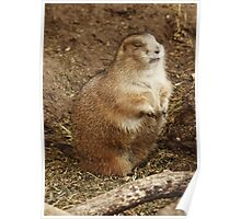Marmot Catching Forty Winks Poster