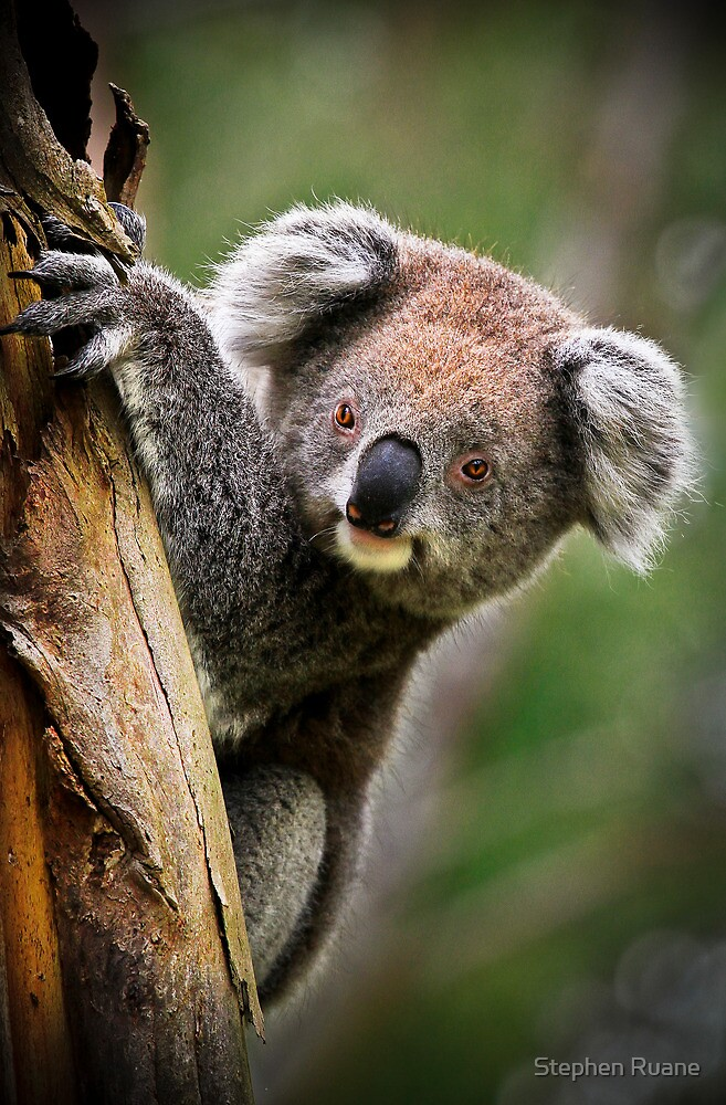 How Much Can A Koala Bear! by Stephen Ruane