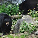 Black bears by Adventures