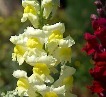 Snap Dragon by GeorgiaConroy