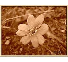 Hepatica Photographic Print