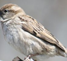 House sparrow perched on branch Sticker