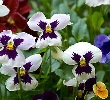 Pansies by Georgia Conroy