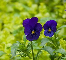 Pansies 2 by GeorgiaConroy