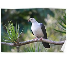 White-headed Pigeon Poster