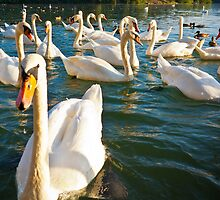 Swans by Matic Golob