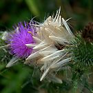 Thistles. by Jean-Luc Rollier