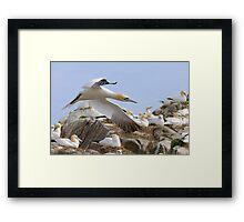 Fly by - Saltee Island, County Wexford, Ireland Framed Print
