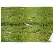 Cattle Egret Walking in a Field Poster