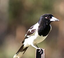 Butcher Bird Close up  by Margaret Stanton
