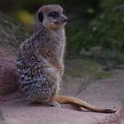 Meerkat on lookout by Deb Vincent
