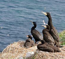 waiting for mum, cormorant chicks, Saltee Island, County Wexford, Ireland by Andrew Jones