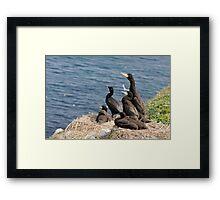 waiting for mum, cormorant chicks, Saltee Island, County Wexford, Ireland Framed Print