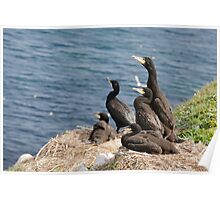 waiting for mum, cormorant chicks, Saltee Island, County Wexford, Ireland Poster