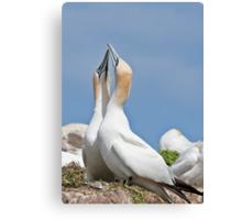 Gannets greeting, Saltee Island, County Wexford, Ireland Canvas Print