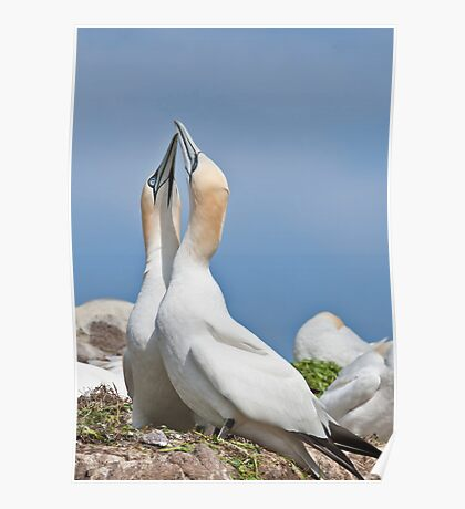 Gannets greeting, Saltee Island, County Wexford, Ireland Poster