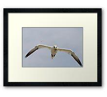 bringing nesting material, gannet in flight, Saltee Island, Ireland Framed Print