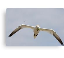 bringing nesting material, gannet in flight, Saltee Island, Ireland Canvas Print