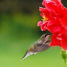 Ruby Throated Humming Bird/Hibiscus by Molly  Kinsey
