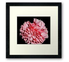 Pink carnation Aug 2011 Framed Print