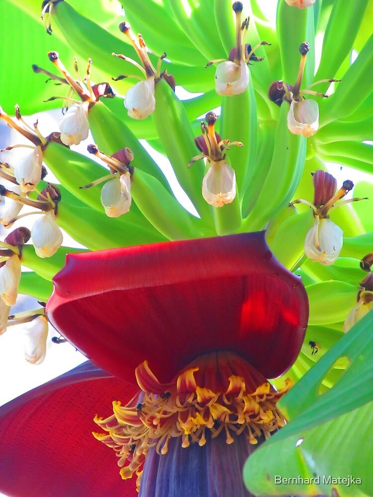 Bananas - tropical art made by the nature - Platanos - arte tropical de la madre naturaleza by Bernhard Matejka