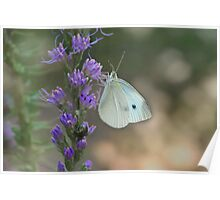 Cabbage White Butterfly... and Friend Poster