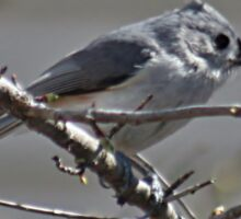 Tufted titmouse in a tree Sticker