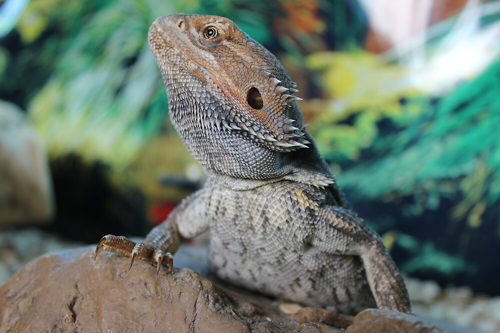 Toothless - Bearded Dragon by ERNEST263