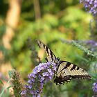 Yellow Swallowtail - Silver Lake Nature Park by starryskyy