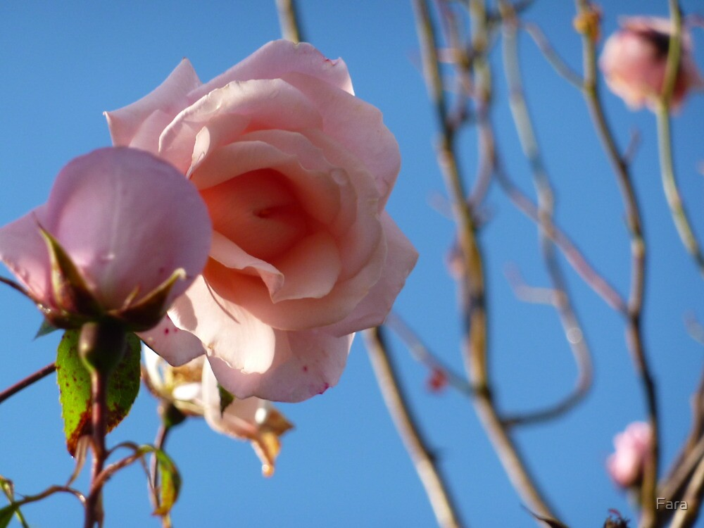 Pink roses fading in late summer. by Fara