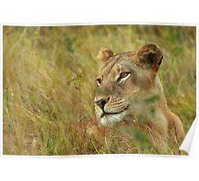 African Lioness, Okavango Delta Poster