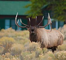 Disturbing the Peace, Bugling Elk in Mammoth Hot Springs Village by Brian Healy Photography