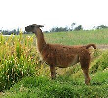 Llama Standing in a Field by rhamm