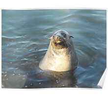 Australian Fur Seal Poster