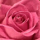 red rose by footsiephoto