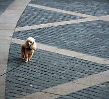 City Poodle by Brad Sauter