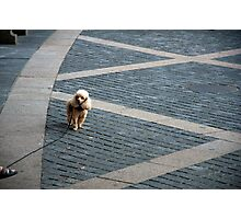 City Poodle Photographic Print