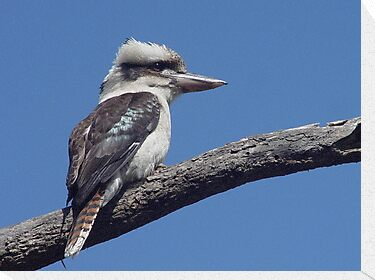 Kookaburra at Old Bar Beach by Gary Kelly