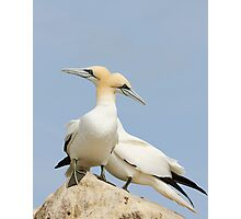 Opposite point of view, gannets, saltee Island, County Wexford, Ireland Photographic Print