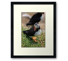 Puffins, Saltee Island, County Wexford, Ireland Framed Print