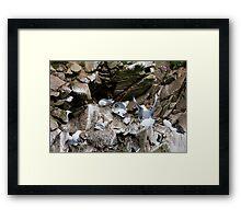 Upset in the kittiwake colony, Saltee Island, County Wexford, Ireland Framed Print