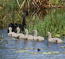 Obedient Cygnets by byronbackyard