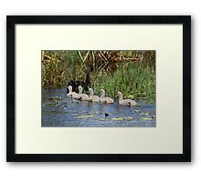 Obedient Cygnets Framed Print