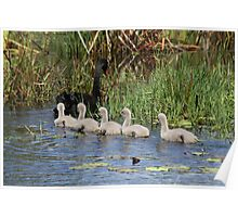 Obedient Cygnets Poster