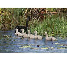 Obedient Cygnets Photographic Print