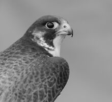 Peregrine Falcon by shaftinaction