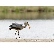 Grey Heron Photographic Print